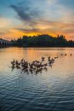 Wild Ducks and Sunset IV Stock Image