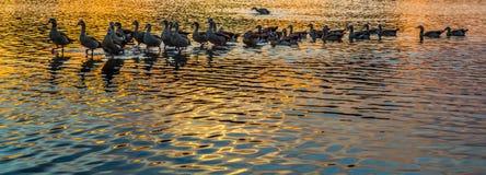 Wild Ducks and Sunset. At Putrajaya Wetland, Malaysia Stock Photos