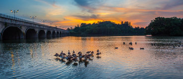 Wild Ducks and Sunset V Stock Images
