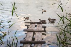 Wild ducks swim along the water. Near the shore Stock Image