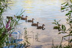 Wild ducks swim along the water. Near the shore Royalty Free Stock Image