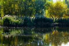 Wild ducks swim on a beautiful lake royalty free stock photo