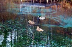 Wild ducks swim in the blue lake against the background of the autumn landscape.  Royalty Free Stock Photography