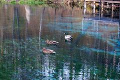 Wild ducks swim in the blue lake against the background of the autumn landscape.  Stock Photos