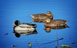 Wild ducks swim in the blue water. Beautiful blue water in the autumn river. Drake`s quacking Royalty Free Stock Images