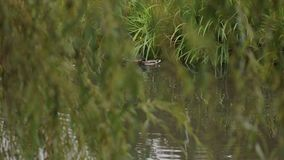 Wild ducks swim in the lake among the green reeds. Wild ducks swim in the lake among the green reeds, in the foreground a blurred branch of willow. Tufted duck stock footage