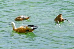 Wild ducks swim in the lake and look for food in the water. royalty free stock photo