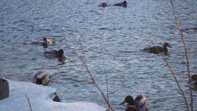 Wild ducks swim near the shore of a frozen stock video footage
