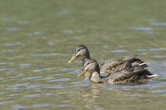 Wild ducks swimming Royalty Free Stock Photos