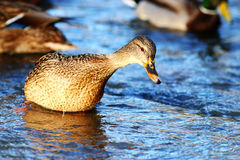 Wild ducks swimming. In cold water Stock Image