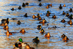Wild ducks. Swimming in cold water Royalty Free Stock Photography