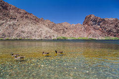 Wild ducks swimming in crystal clear Lake Royalty Free Stock Image