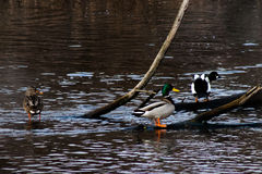 Wild ducks swimming Royalty Free Stock Photography