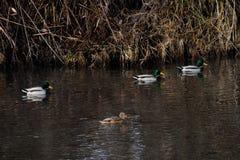 Wild ducks swimming Royalty Free Stock Photo