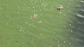 Wild ducks swimming. Ducks swimming among fishes in the lake stock video