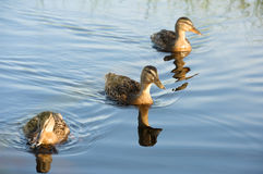 Wild ducks swimming on the lake. Close to the sea Stock Photos