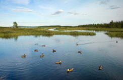 Wild ducks swimming on the lake. Close to the sea Royalty Free Stock Photo