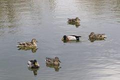 Wild ducks swimming in the lake. Stock Photos