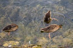 Wild ducks on the lake surface Royalty Free Stock Photography
