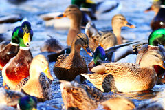 Wild ducks swimming. In pond Royalty Free Stock Photo
