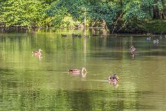 Wild ducks swimming in a pond. Peaceful sunny park scenery including some mallards swimming in a idyllic small lake at summer time royalty free stock image