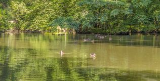 Wild ducks swimming in a pond. Peaceful sunny park scenery including some mallards swimming in a idyllic small lake at summer time Stock Image