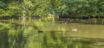 Wild ducks swimming in a pond. Peaceful sunny park scenery including some mallards swimming in a idyllic small lake at summer time Stock Photo