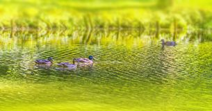 Wild ducks swimming in a pond. Riparian sunny park scenery including some mallards swimming in a lake at summer time stock photography