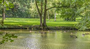 Wild ducks swimming in a pond. Riparian sunny park scenery including some mallards swimming in a lake at summer time royalty free stock photos