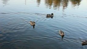 Wild Ducks. Wild ducks swimming in pond in summer stock footage