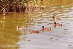 Wild ducks swimming in the pond together in V-formation stock image