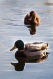 Wild ducks Royalty Free Stock Photography