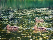 Ducks swimming in the water. Wild ducks swimming on river surface. Autumn landscape in Russia Royalty Free Stock Photography