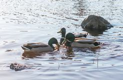 Wild ducks swimming on river in sunset light. Spring landscape in East Europe. Wild ducks swimming on river surface in sunset light. Spring landscape in East Stock Images