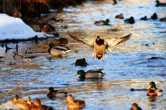 Wild ducks swimming Stock Photo