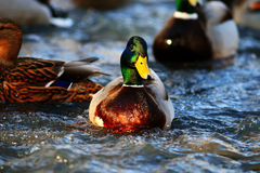 Wild ducks swimming. In springtime Stock Images