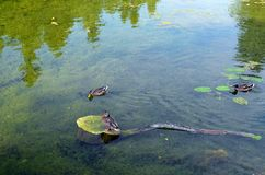 Wild ducks swimming in the transparent water over aquatic plants Stock Photography