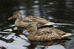 Wild ducks Stock Photography