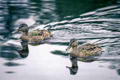 Wild ducks. Two female wild ducks on the lake Royalty Free Stock Photography
