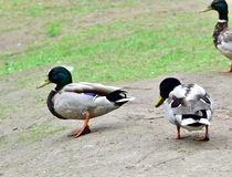 Wild ducks walking on ground Stock Photo