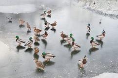 Wild ducks walking on ice Royalty Free Stock Images