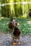 Wild ducks are walking by the lake in the park. Wild mallard ducks are walking by the lake in the park Royalty Free Stock Images