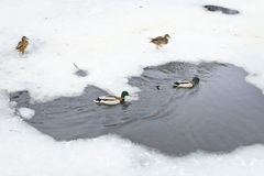 Wild ducks in water of frozen river Stock Photos