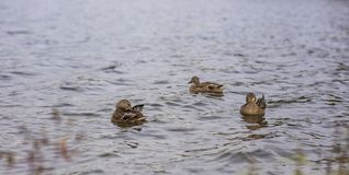 Wild ducks, water, outdoor, pound royalty free stock photography