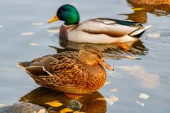 Wild ducks at the water surface in the lake Stock Image
