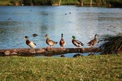 Wild ducks on the water tank Stock Photo