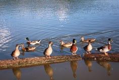 Wild ducks on the water tank Stock Photos