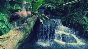 Wild ducks by waterfall Stock Images