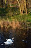 Wild ducks and whte swans swimming next to colorful grass. Wild ducks and couple of white swans swimming next to green grass and colorful reed in park in fall Royalty Free Stock Photo
