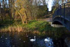 Wild ducks and whte swans swimming under the bridge. Wild ducks and couple of white swans swimming under the bridge and next to green grass and colorful reed in Stock Photo